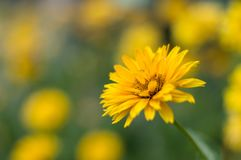 Vibrant Yellow Flower Royalty Free Stock Photography