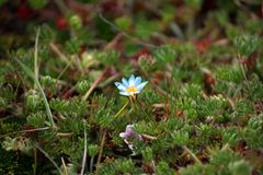 Small flower in a high altitude ground cover. Small blue flower blooming in the middle of a ground covering plant found in the high altitude Antisana Ecological Royalty Free Stock Images