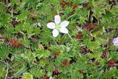 Small flower in a high altitude ground cover. Small white flower blooming in the middle of a ground covering plant found in the high altitude Antisana Ecological Royalty Free Stock Photo