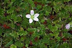 Small flower in a high altitude ground cover. Small white flower blooming in the middle of a ground covering plant found in the high altitude Antisana Ecological Royalty Free Stock Image