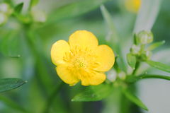 A small flower. A little yellow flower depicted close-up Royalty Free Stock Image