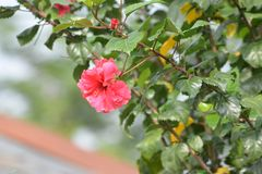 Small Flower in Magenta color with green leaves. Small Flower on plant in Magenta color with green leaves, India - Himachal Pradesh stock photos
