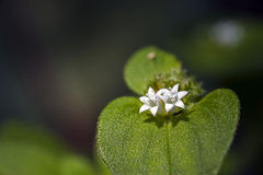 Small-flower sighted in remnant of Atlantic Forest Royalty Free Stock Images