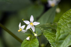 Small-flower sighted in remnant of Atlantic Forest Royalty Free Stock Image