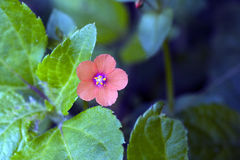 Small-flower sighted in remnant of Atlantic Forest Royalty Free Stock Photos