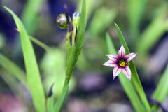 Small-flower sighted in remnant of Atlantic Forest Stock Photo