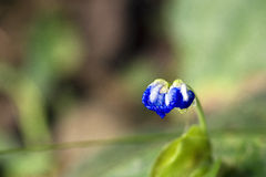 Small-flower sighted in remnant of Atlantic Forest Royalty Free Stock Photo