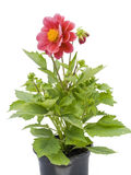 Small flower in a small pot Royalty Free Stock Photos
