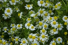 Small flower white daisy nature. Background stock photography