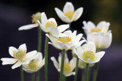 Small-flowered Anemone flower Royalty Free Stock Image