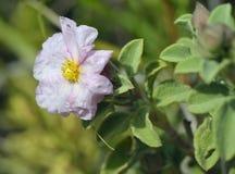 Small-flowered Cistus - Cistus praviflorus Stock Photography