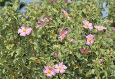 Small-flowered Cistus Stock Photos
