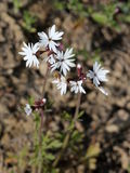 Small-flowered Woodland-star - Lithophragma parviflorum Stock Photo