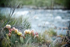 Small Flowering Cactus Stock Image