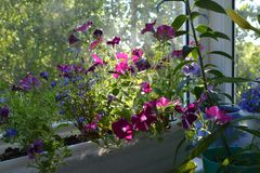 Small flowering garden on the balcony. Pink flowers of petunia are lit by the sun.  royalty free stock photography