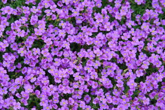 Small flowers. Field of Small violet flowers royalty free stock photo