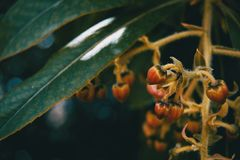 Small flowers of arbutus unedo. In nature Stock Images