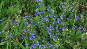 Small flowers of blue color grow among many plants on a green meadow. Small flowers of blue color grow among many plants on a green meadow stock footage