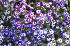 Small flowers of blue and purple colors Royalty Free Stock Images