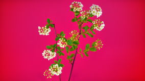 Small flowers bunch on pink stock video footage