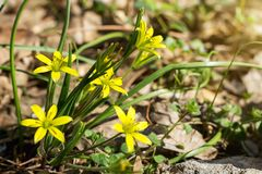 Small flowers of Gagea lutea or goose onions close-up. Yellow Star-Of-Bethlehem spring blooming on sunny day stock photo