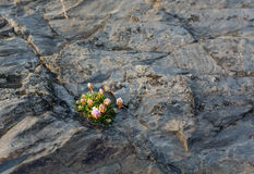 Small flowers growing in harsh rock Royalty Free Stock Photo