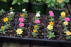 Small flowers growing in plant tray. Small mixed pastel color flower plants in a tray lined up stock photos