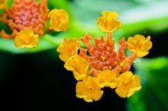 Small flowers of Lantana Camara Royalty Free Stock Photos