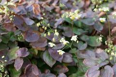 Free Small Flowers Of Epimedium Sagittatum, Barrenwort Or Bishop`s Hat Royalty Free Stock Images - 165517379