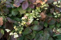 Free Small Flowers Of Epimedium Sagittatum, Barrenwort Or Bishop`s Hat Stock Photography - 165527942