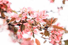 Small flowers of a pink sakura. On a white background Stock Photos