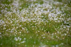 Blurred image of small white flowers among grass royalty free stock photo