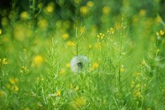 Little fluffy but already Mature dandelion royalty free stock photos