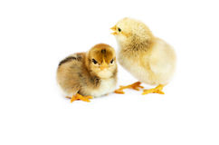 Small fluffy baby chick on limited Stock Photos