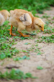 Small fluffy baby chick on limited Stock Photography