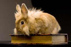 A small fluffy brown rabbit sitting on a book Stock Image