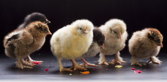 Small fluffy chickens Royalty Free Stock Image