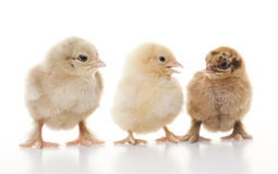 Small fluffy chickens Stock Photos