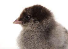 Small fluffy chickens Royalty Free Stock Photography