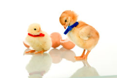 Small fluffy chicks Stock Photo