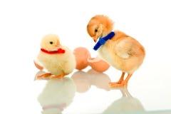 Small fluffy chicks stock photo
