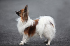 Small fluffy dog the side Royalty Free Stock Photos
