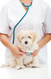 Small fluffy dog at the veterinary doctor Royalty Free Stock Photo