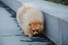 Small fluffy dog walks in the park stock photography