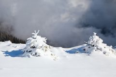 Small fluffy fir trees covered with webby snow. Spruce trees stand in snow swept mountain meadow. Small fluffy fir trees covered with webby snow. Spruce trees Stock Image