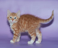 Small fluffy ginger kitten standing on violet Stock Photo