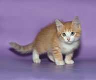 Small fluffy ginger kitten standing on violet Royalty Free Stock Image