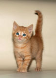 Small fluffy ginger kitten standing on yellow Royalty Free Stock Photography