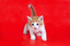 Small fluffy ginger and white kitten lies on red Stock Images