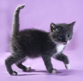 Small fluffy gray kitten goes on purple Royalty Free Stock Image